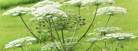 picture of giant hogweed